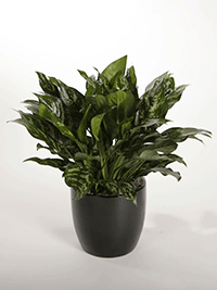 Aglaonema Hologram Chinese Evergreen