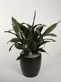 Aspidistra-Cast-Iron-Plant-Thumb