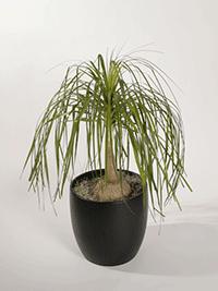 Beucarnia Recurvata Pony Tail Palm - Plant