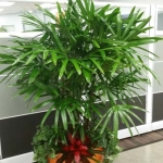 Call Center Entry Raphis Palm Indoor Plants