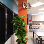 Cafe Indoor Plant - Ficus Lyrata