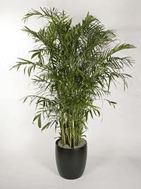 Chamaedorea Seifrezii Bamboo Palm
