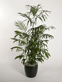 Chamaedorea Seifrezii Bamboo Palm-Small Plant