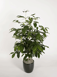 Coffea Arabica Coffee Plant