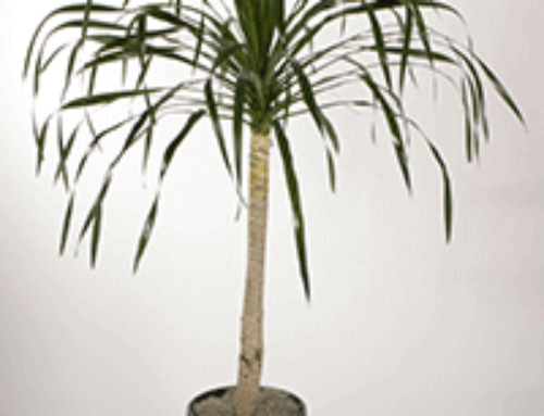 Dracaena arborea: Dragon Tree