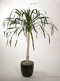 dracaena-arborea-care