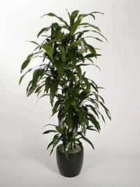 Dracaena Deremensis Janet Craig Cutback Plant