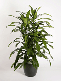Dracaena Deremensis Janet Craig Tip Plant