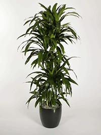 Dracaena-uprights-lisa
