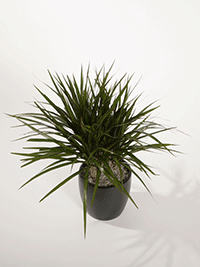 Dracaena-uprights-marginata