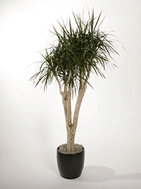 Dracaena Marginata Stump Plant