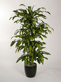 Dracaena-uprights-Massangeana