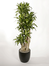 Dracaena-uprights-Massangeana-Stump