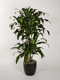 Dracaena-uprights-Michiko