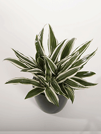 Dracaena-uprights-Massangeana-small