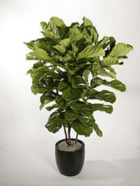 Ficus Lyrata Column Plant