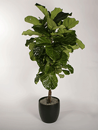 ficus-trees-lyrata-braid