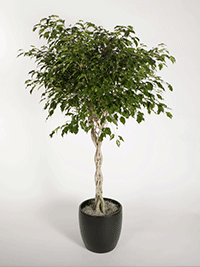 ficus-trees-monique