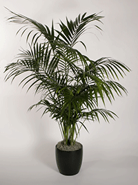 Howea Fosteriana Kentia Palm Plant