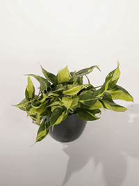 philodendron-species