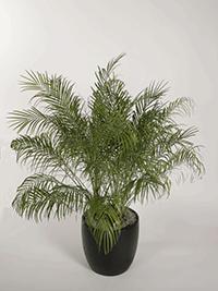Phoenix Robellini Pygmy Palm-Plant