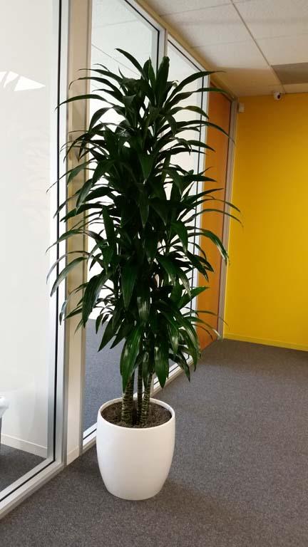 Dracaena Lisa - Specimen Indoor Plant