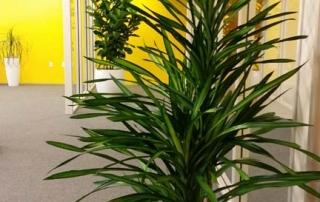 Dracaena Rikki - Indoor Plant