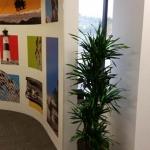 Dracaena Rikki - Modern Office Indoor Plants