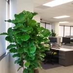 Ficus Lyrata - Plants in IT Department