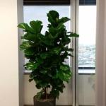 Ficus Lyrata Specimen