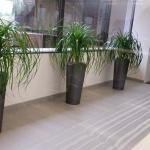 Ponytail Palms i.e. Beaucarnea - 3 is a Charm