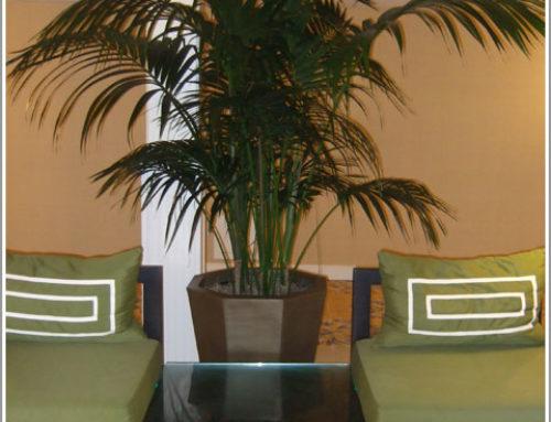 Kentia Palms from Downunder & Hawaii