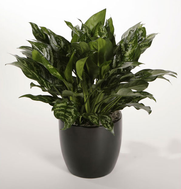 Find helpful customer reviews and review ratings for Siam Aurora Chinese Evergreen Plant Aglaonema Grows in Dim Light 6 Pot at Amazoncom Read honest and