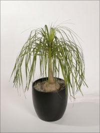 beaucarnea recurvata ponytail palm bottle palm
