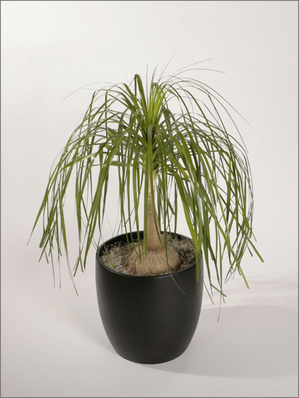 beaucarnea recurvata ponytail palm bottle palm