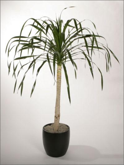 dracaenas-variety-arborea