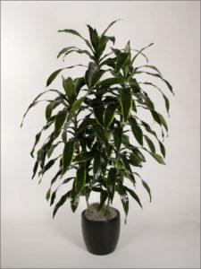 interior-plant-dracaenas