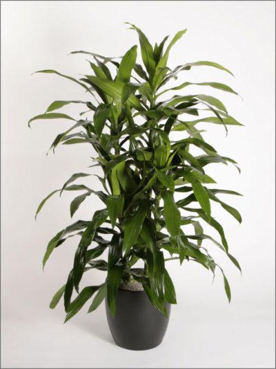 dracaenas-variety-deremensis