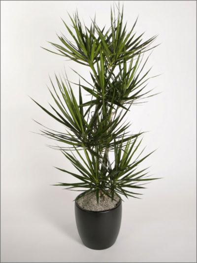dracaenas-variety-marginata