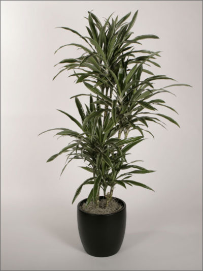 dracaenas-variety-warneckii