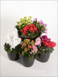 Seasonal Flowers Kalanchoes, Cyclamens, Christmas Cactus Begonia, Lilies, Dahlias