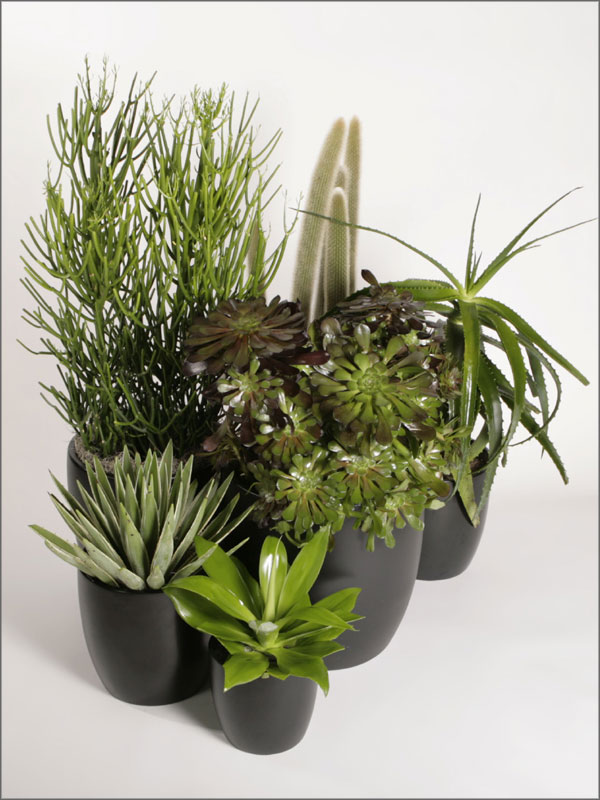 Succulents, Aloe Echeveria, Aeonium, Agave, Cactus