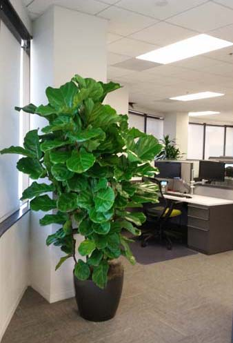 ficus-species-office