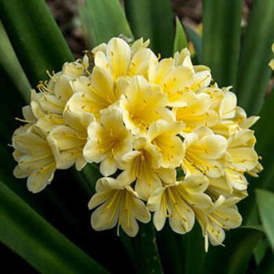 bush-lily