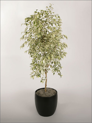 ficus-species-ben