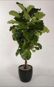 interior-plant-ficus