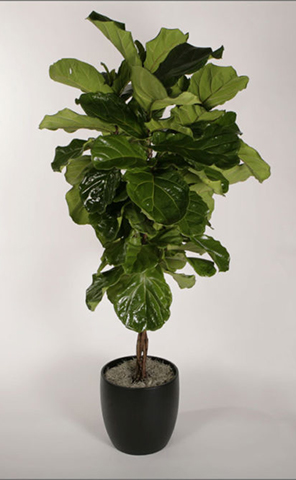 ficus-species