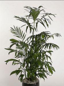 kentia-palm