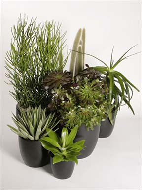 Cactaceae-family-arrangement