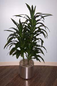houseplant-draceana